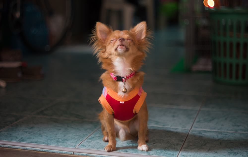Chihuahua wearing orange and red shirt with head back howling