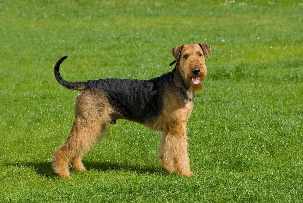 Airedale  standing in grass