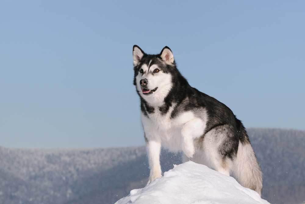 Alaskan Malamute on top of snow pile