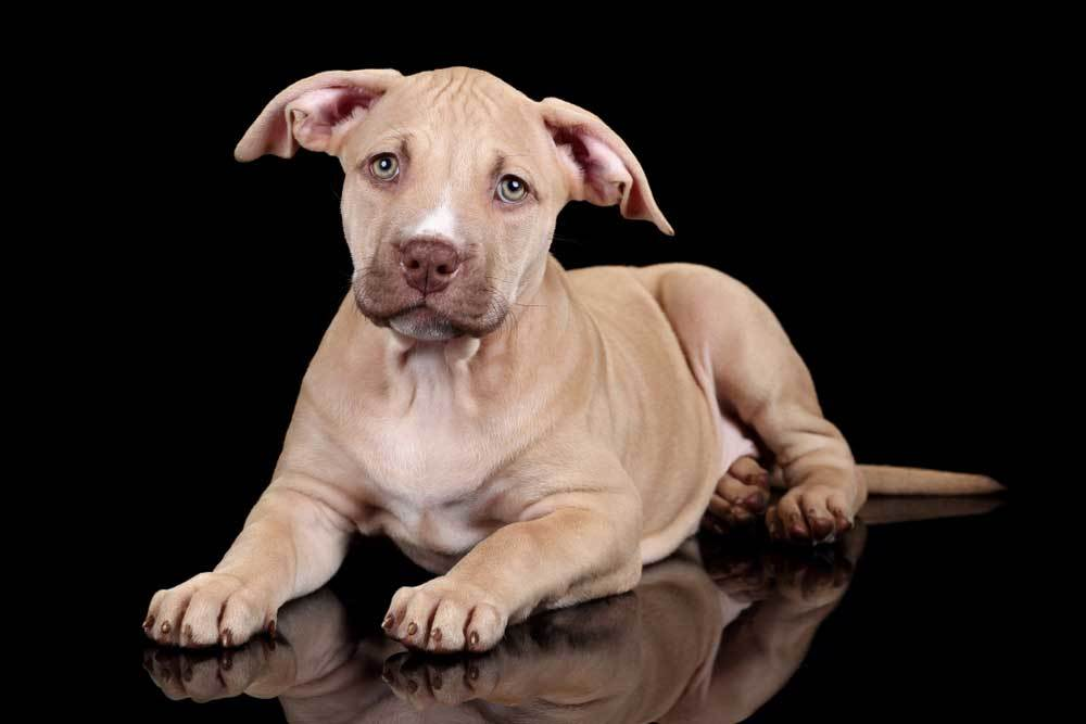American Pit Bull puppy on black background