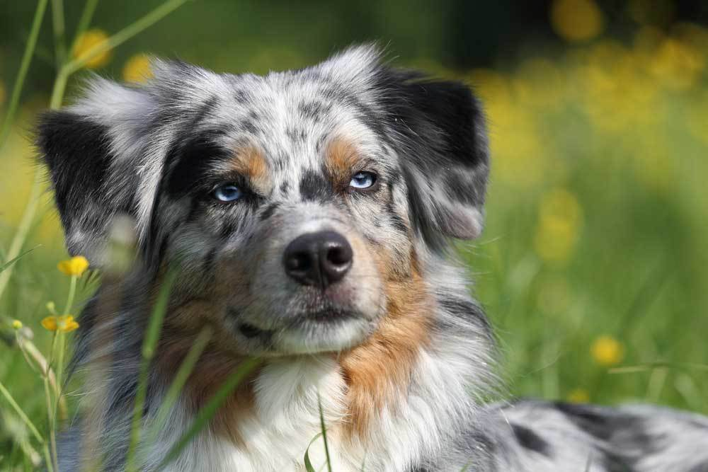 Close up of Australian Shepherd in tall grass and wild flowers