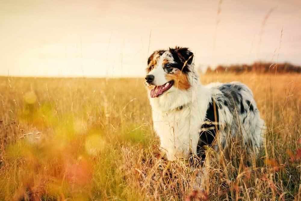 Australian Shepherd standing in field of tall dead grass