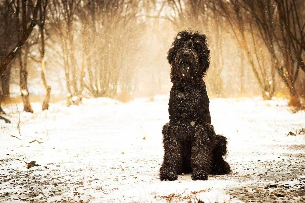 Barbet dog sitting in snow with trees in background