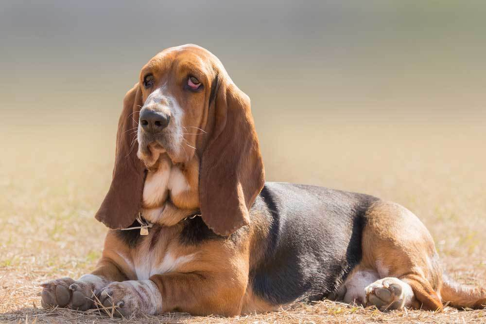 Basset Hound laying on dry dead  grass