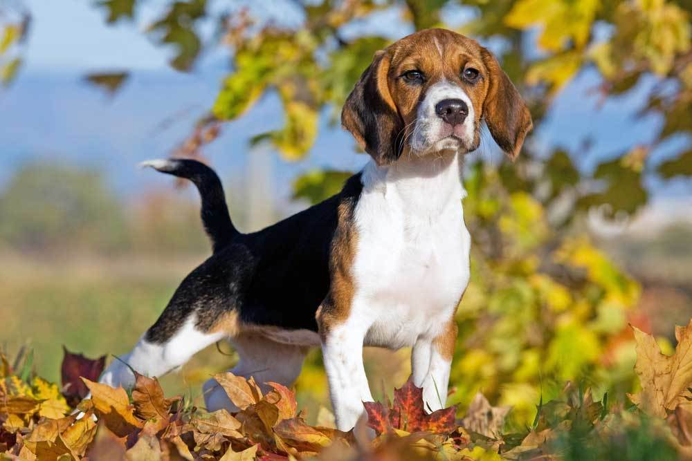Beagle standing in pile of fall leaves