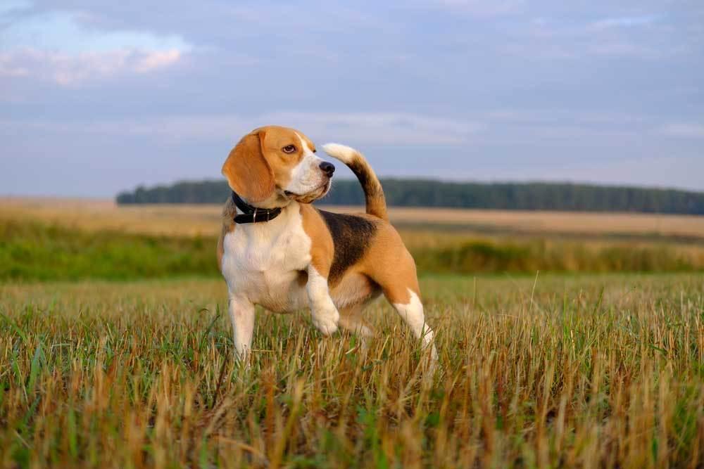 Beagle standing in grassy field