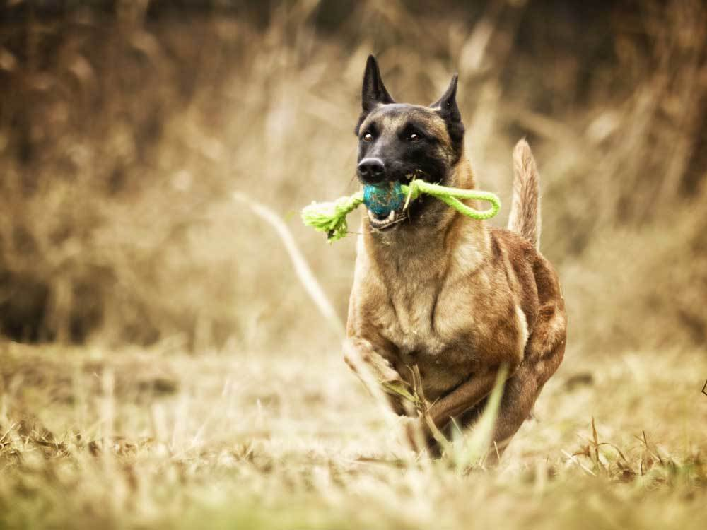 Belgian Malinois running with ball in mouth