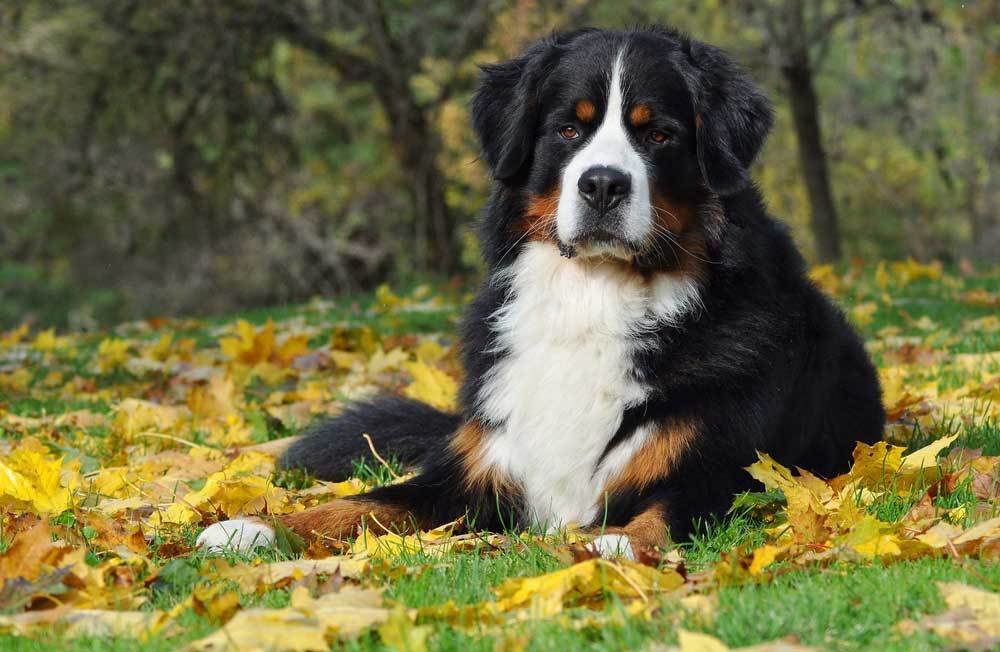 Bernese Mountain Dog laying in green grass surrounded by fall leaves