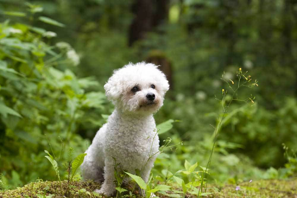 Bichon Frise sitting in woods on moss covered mound