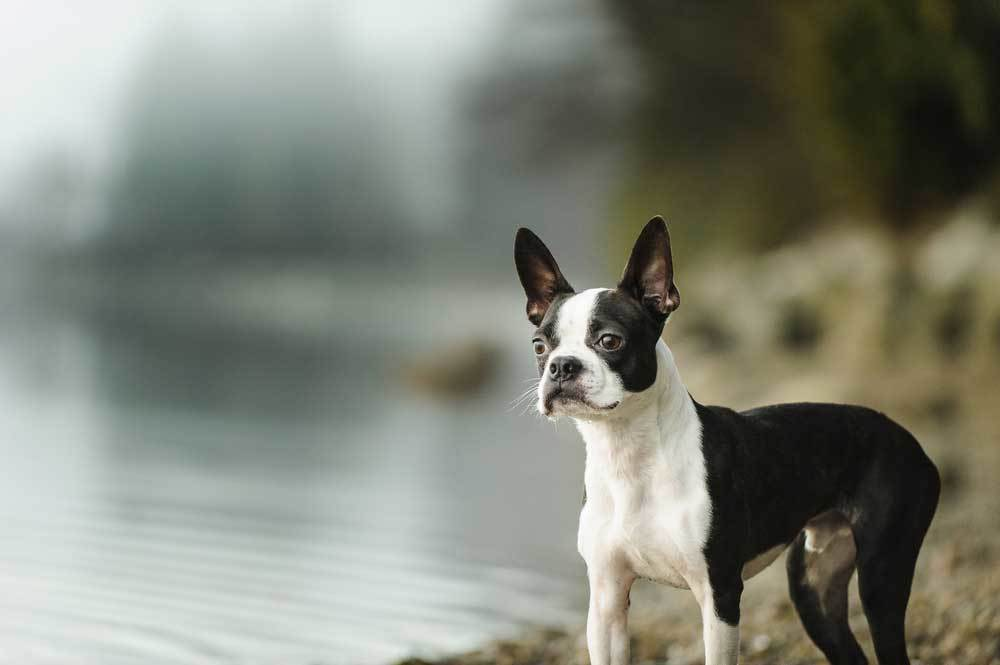Boston Terrier standing on the shore