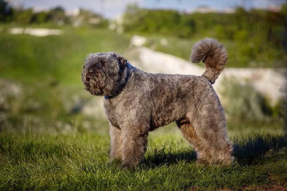 Bouvier standing on grassy hill