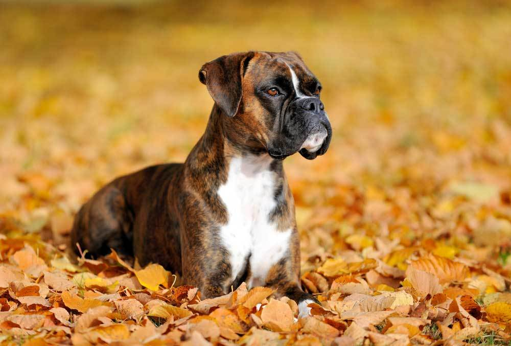 Boxer dog laying in orange autumn leaves