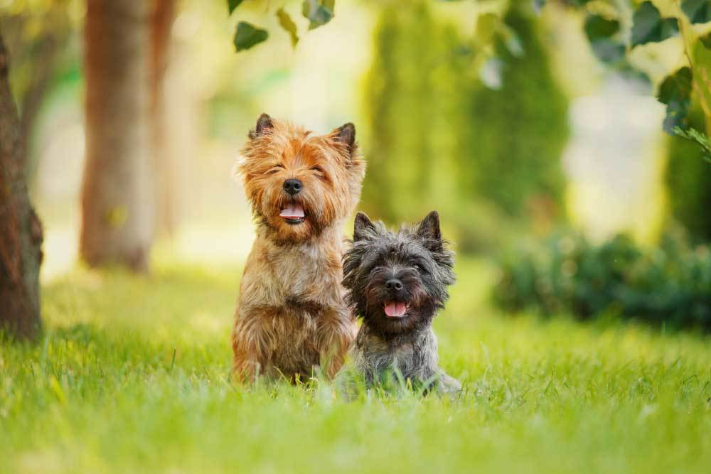 2 Cairn Terriers in tall grass surrounded by trees