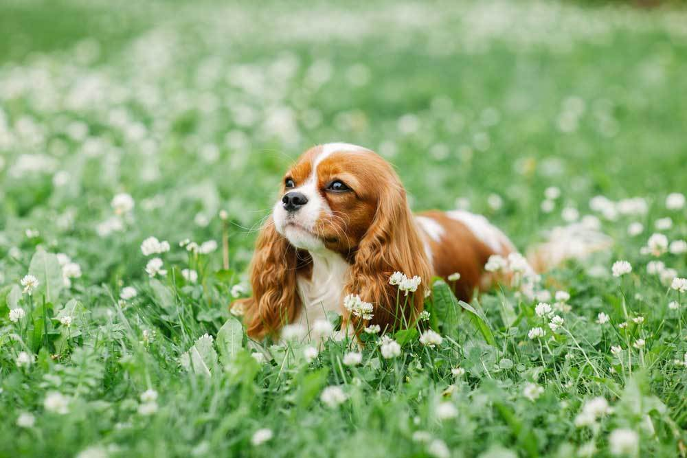 Cavalier King Charles Spaniel laying in field of grass and clover