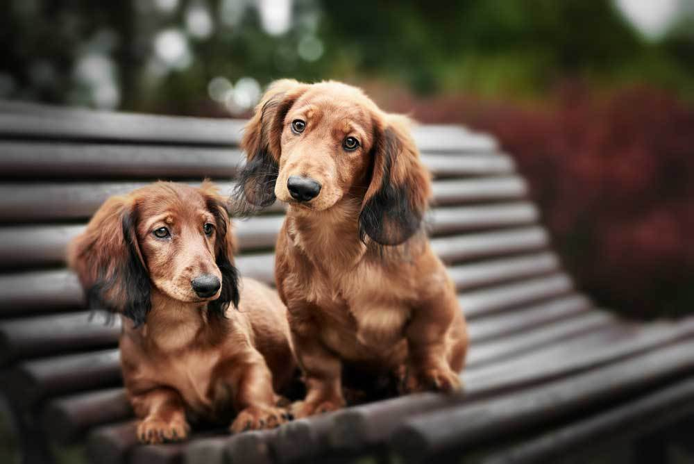 2 Dachshunds sitting on a park bench