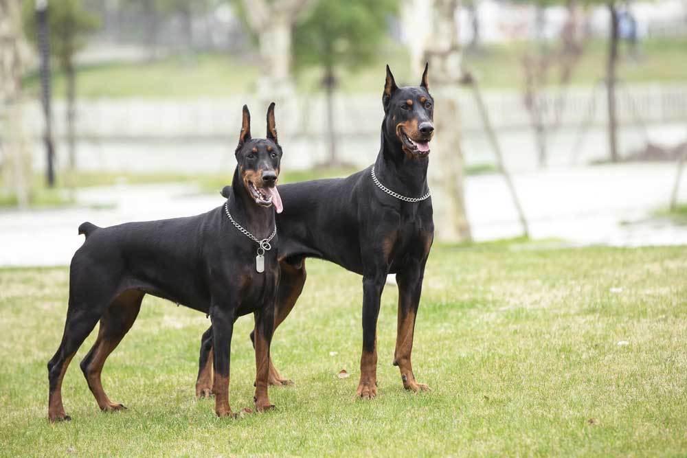 2 Doberman Pinschers standing in grass