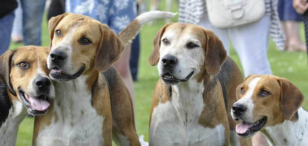 4 English Foxhound side by side with people in the background