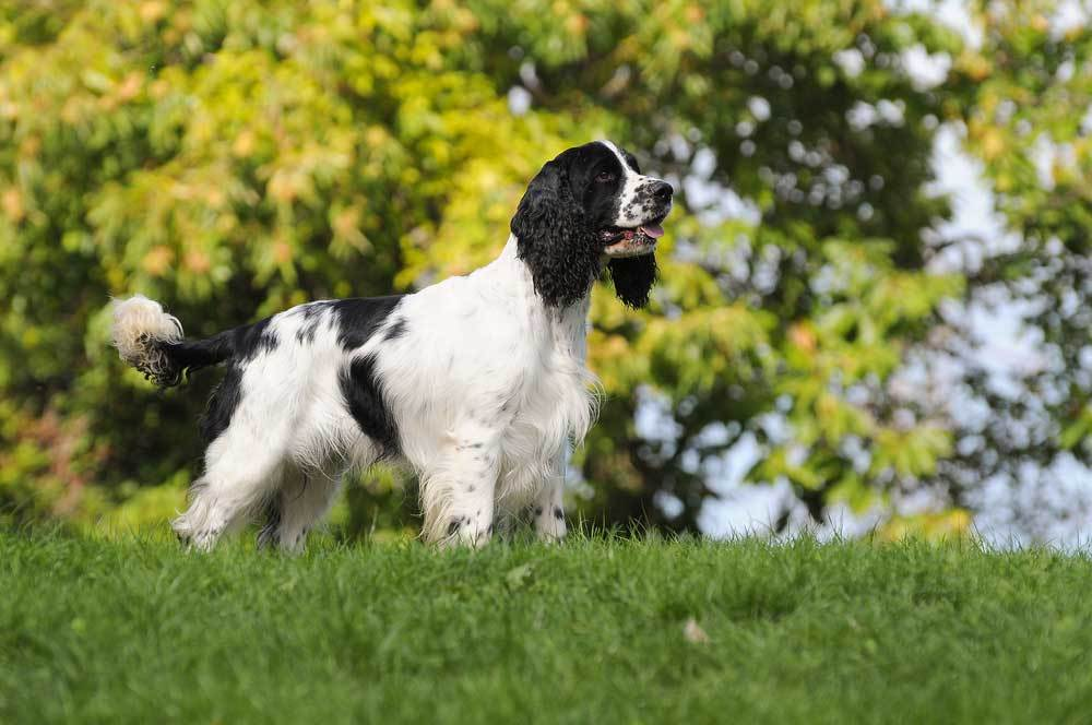 English Springer Spaniel standing on grassy hill in front of trees