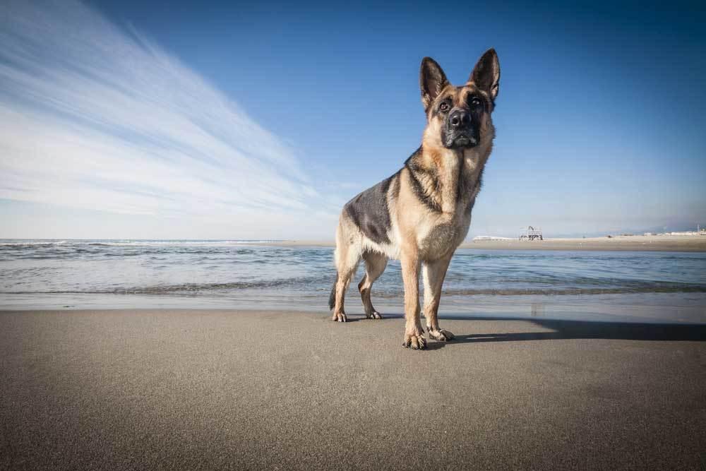German Shepherd standing on a beach