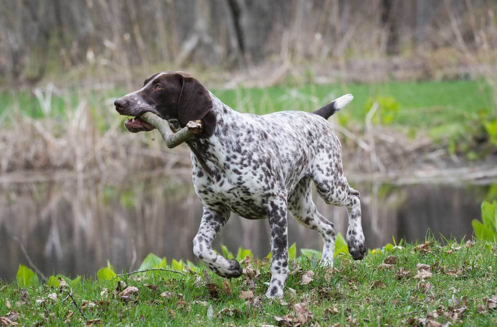 German Shorthaired Pointer running next to pond with stick in mouth