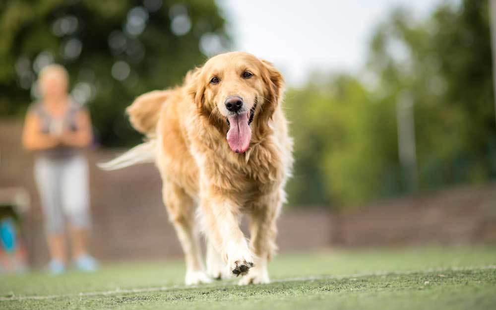 Golden Retriever walking across yard