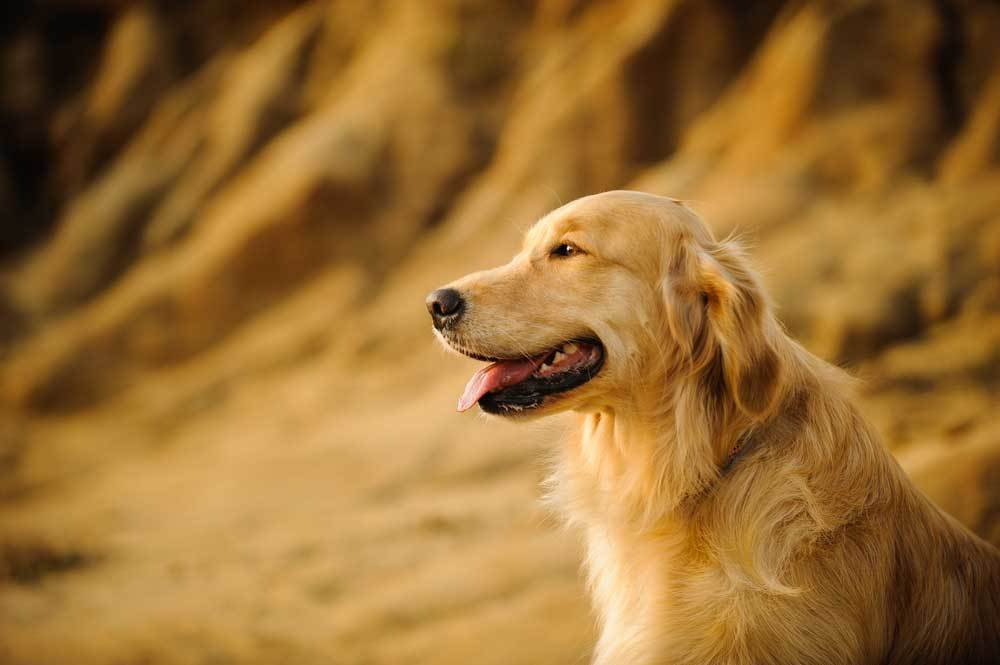 side portrait of a Golden Retriever with sandy cliffs in background
