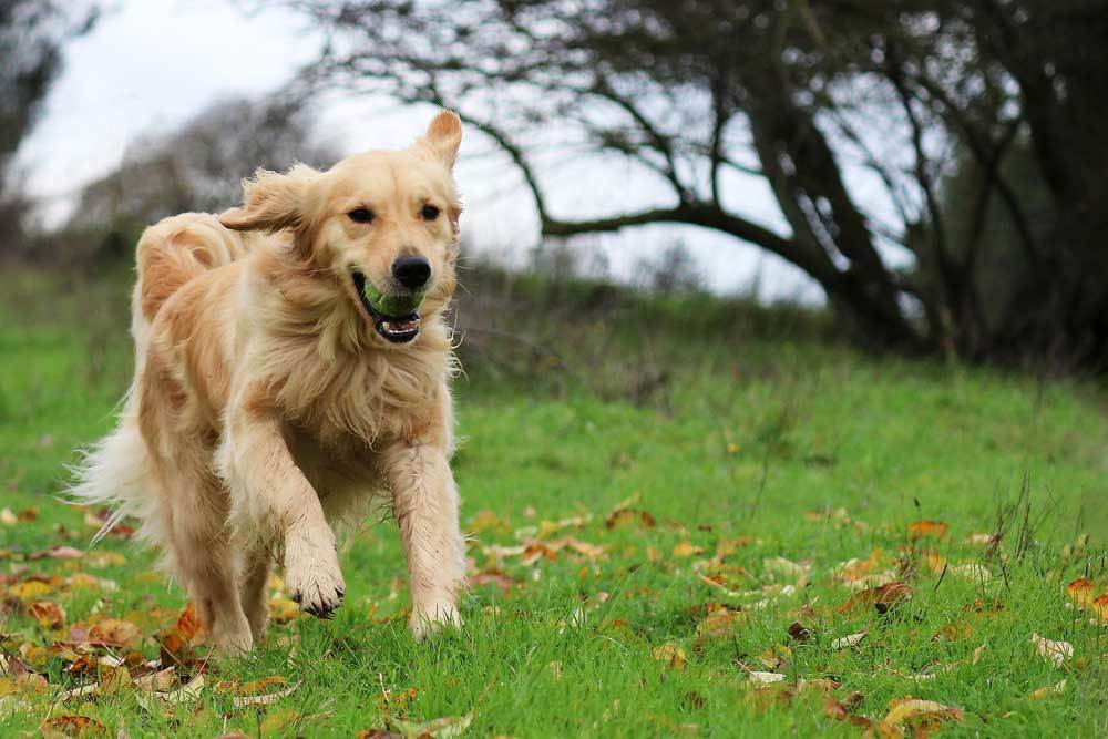 Golden Retriever running in grass with ball in mouth