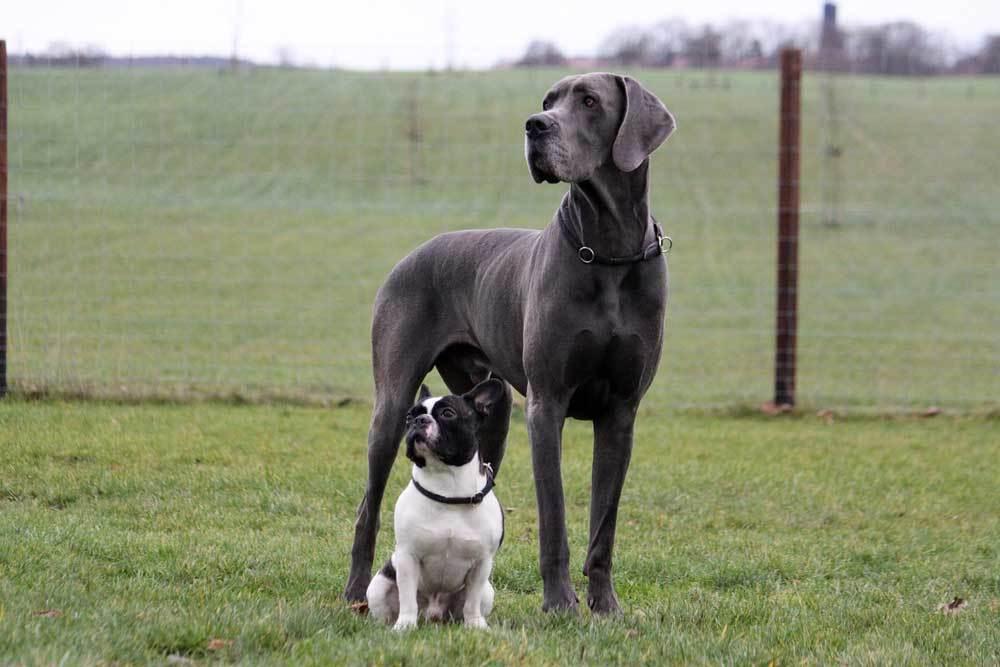 Great Dane standing in field with boston terrier
