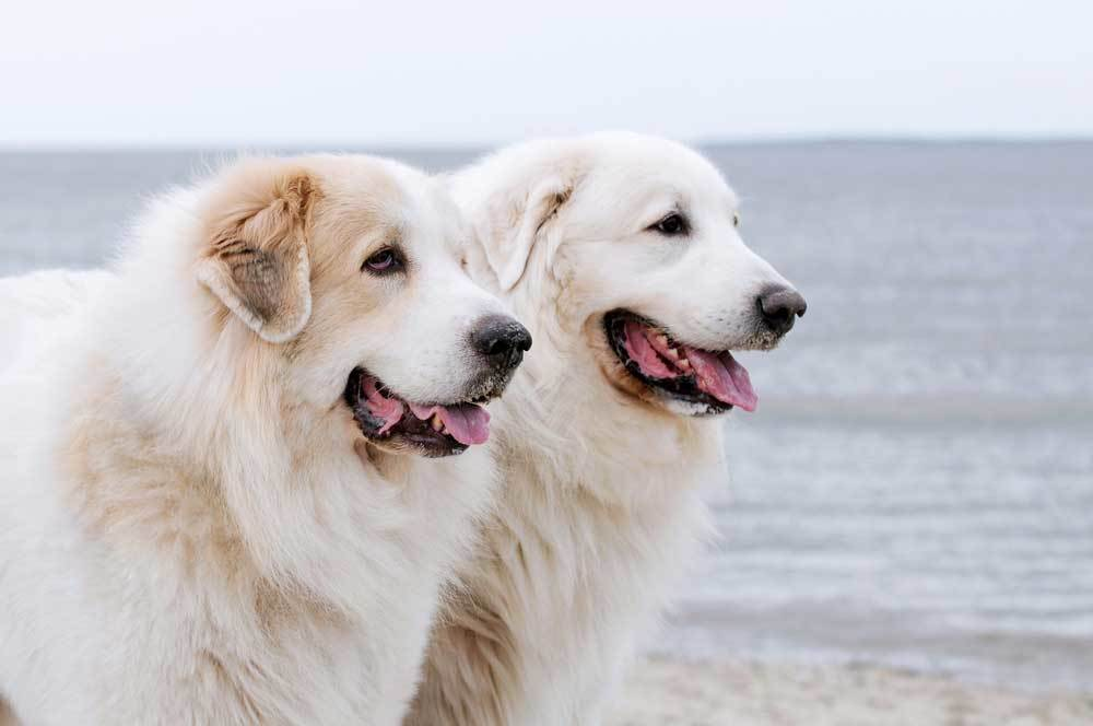 2 Great Pyrenees side by side on the beach