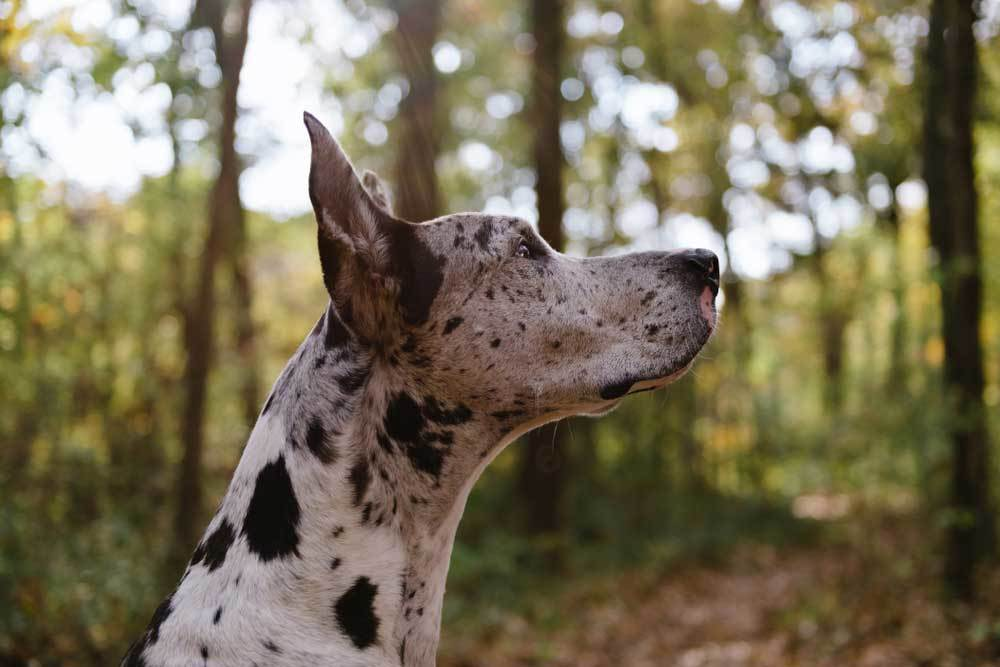 side view of Harlequin Great Dane looking up at sky
