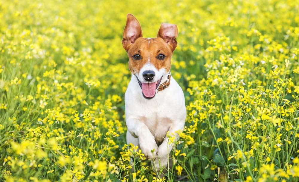 Jack Russell Terrier jumping through tall weeds and flowers