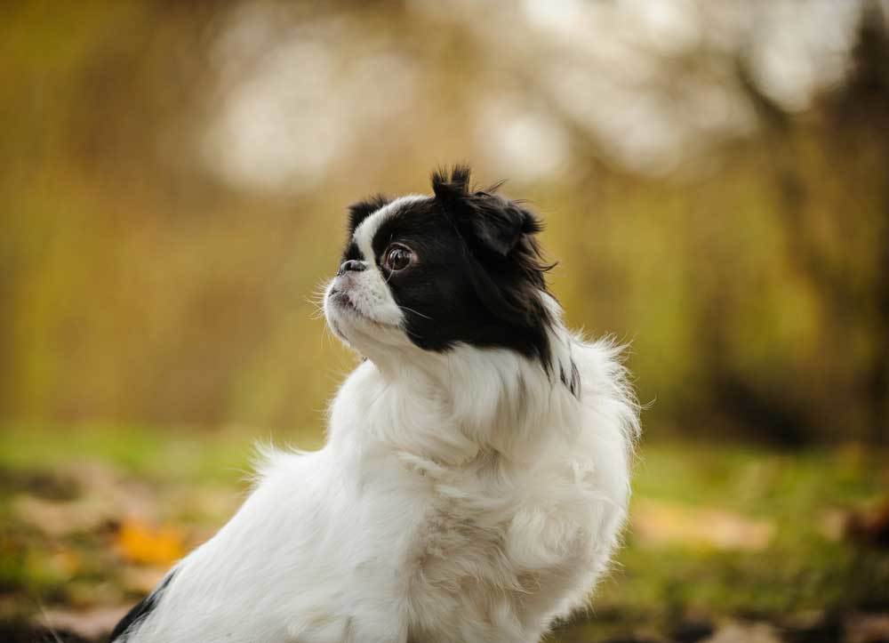 Japanese Chin in nature