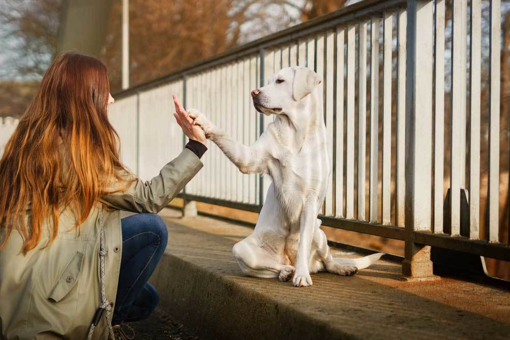 Labrador Retriever giving a high five to a red haired woman