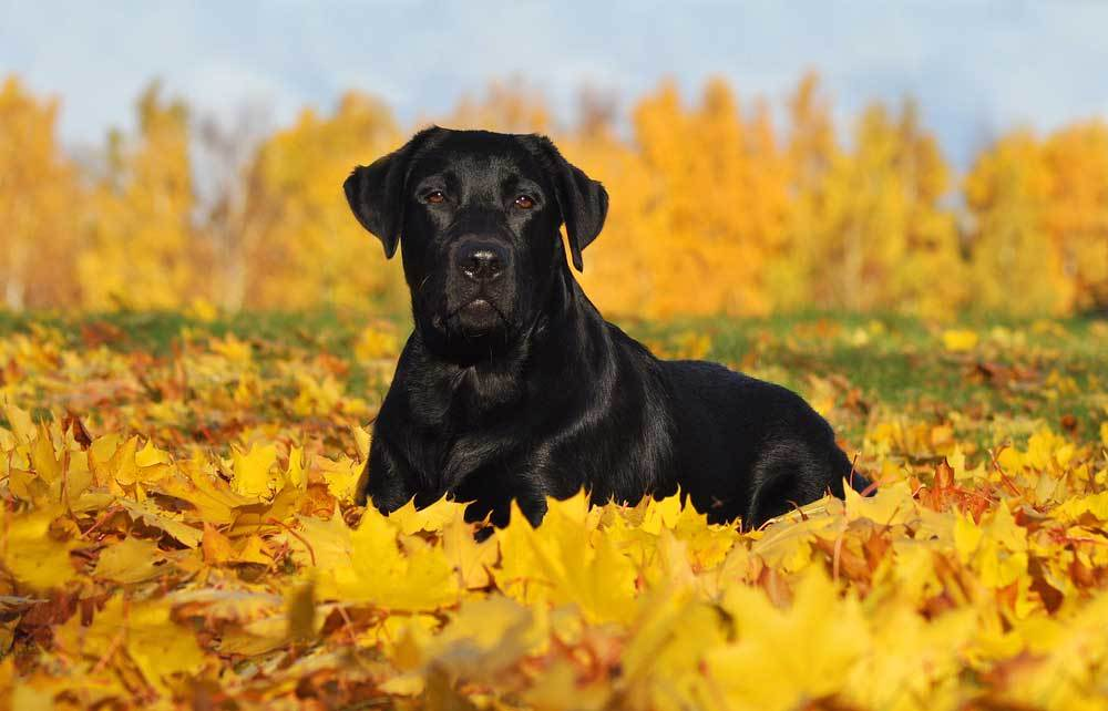 Black Labrador Retriever Laying in yellow and red leaf covered grass