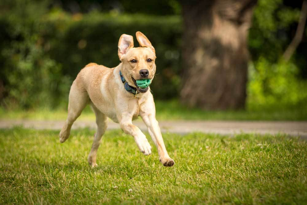 Yellow Labrador Retriever running outside with ball in mouth