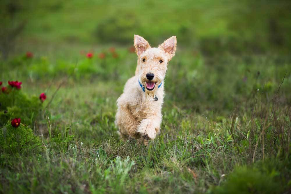 Lakeland Terrier jumping through weeds and flowers