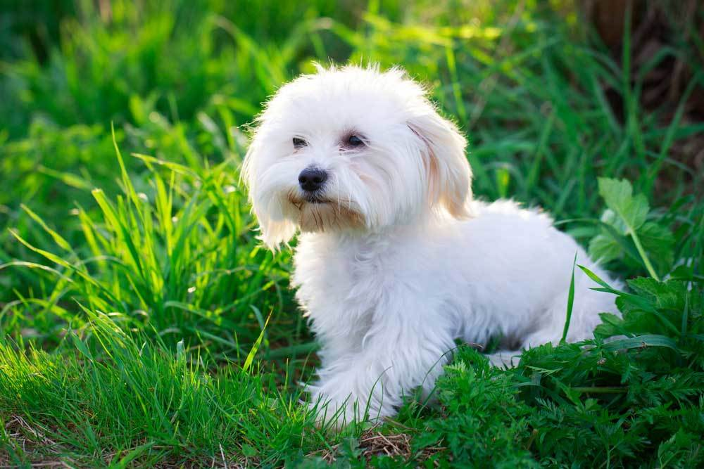 Maltese laying in tall grass and weeds