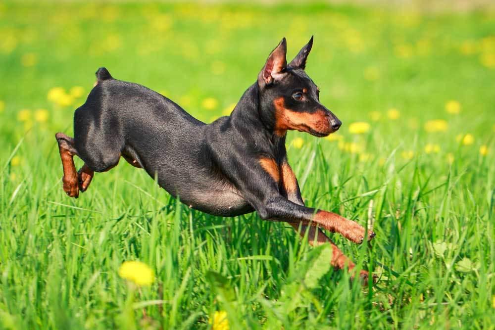 Miniature Pinscher jumping through grass