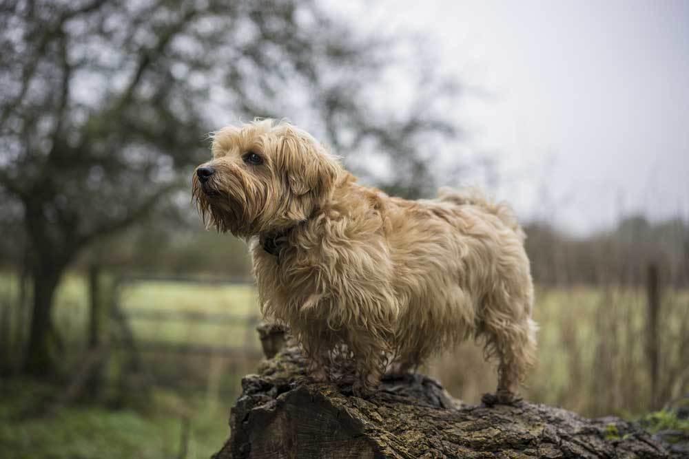 Norfolk Terrier on stump