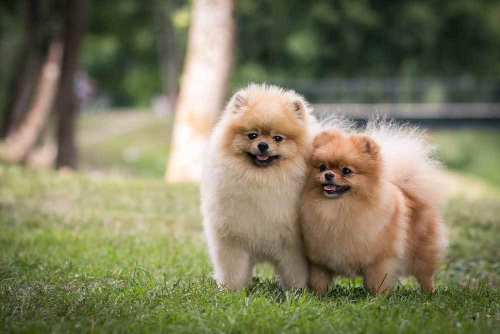 2 Pomeranian walking side by side in grass