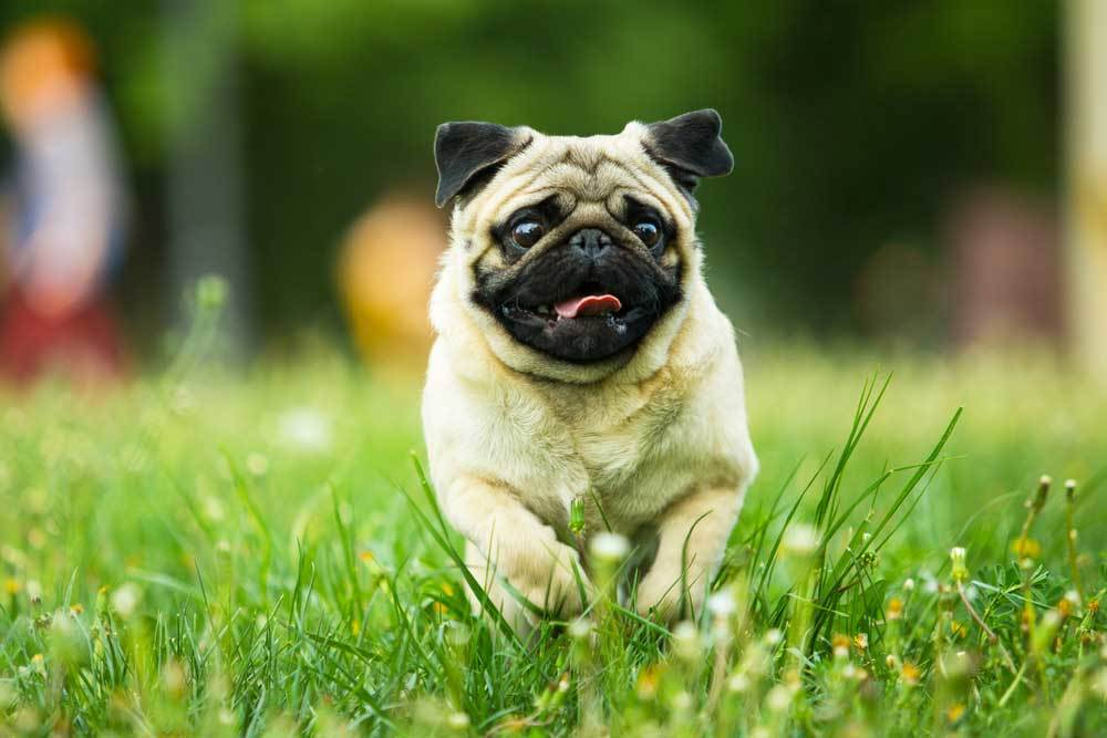 Pug running through grass and wildflowers