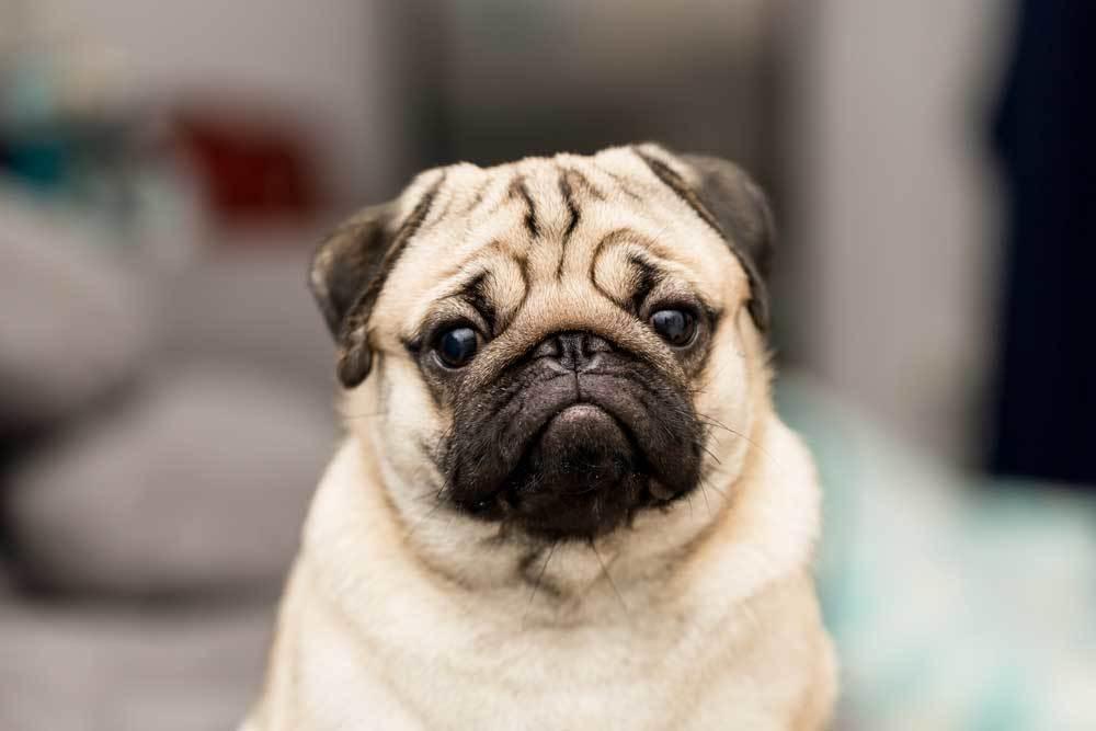 Portrait of Pug on blurred background