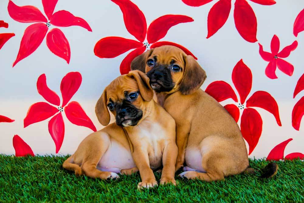 2 Puggles sitting in front of painted flower background
