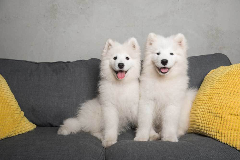 2 Samoyed sitting side by side on a dark grey couch with yellow pillows
