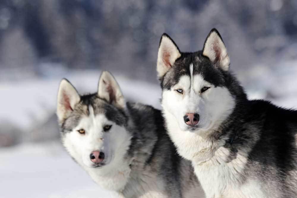 2 Siberian Husky sitting side by side in snow.