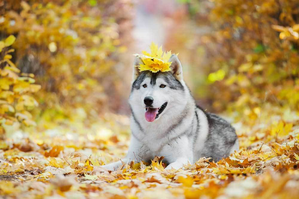 Siberian Husky laying down in fall leaves