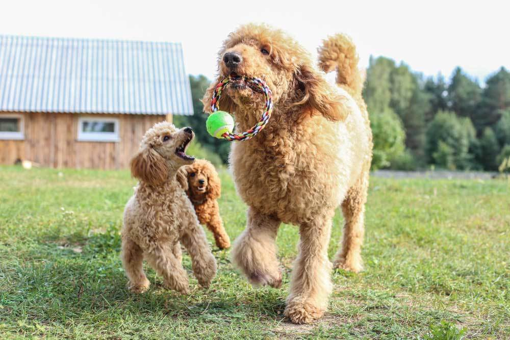 Standard Poodle with rope ball toy in mouth running with with 2 smaller poodles