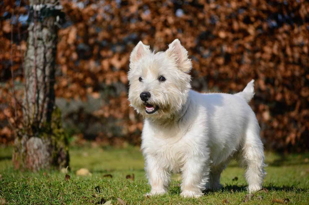 West Highland White Terrier in outdoor setting.