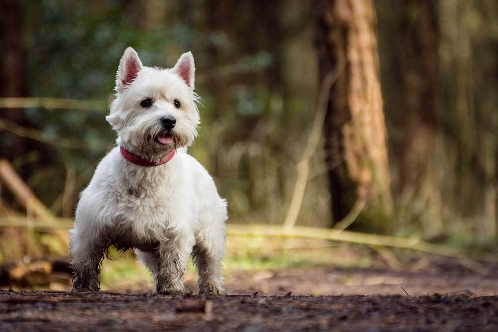 White Highland White Terrier on trail in woods