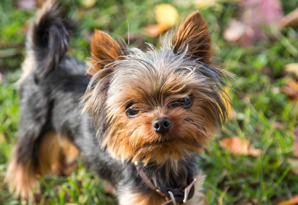 Yorkshire Terrier in leaf covered grass looking up at camera